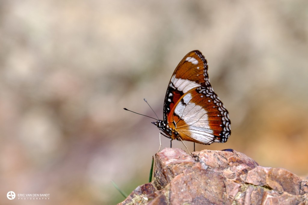Butterfly at the Christoffelmountain; an example of the bokeh